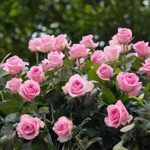 How and When to Plant Roses