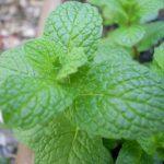 Using Herbs For Pest Prevention
