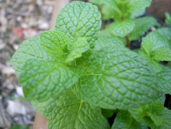 pest prevention with herbs