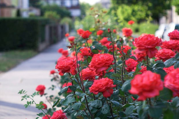 How and when to plant roses the garden glove - Planting rose shrub step ...