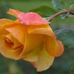 What You Need to Know About Planting Roses