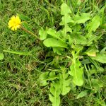 Using Herbicides: Weed Control for Lawns
