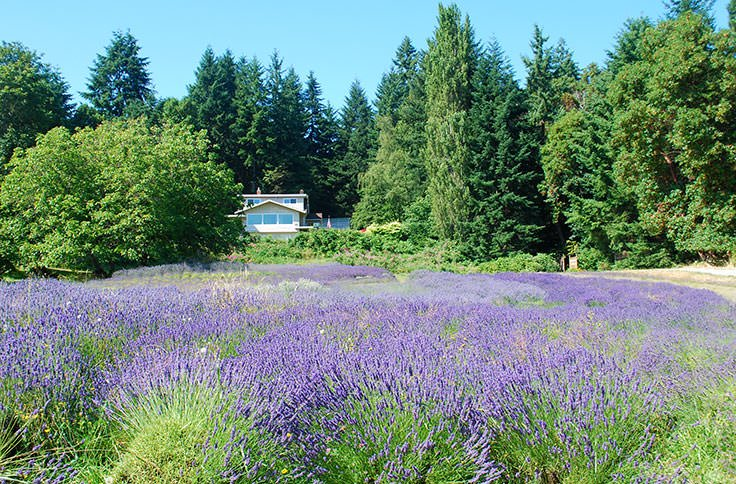 How To Grow Lavender Like the French!
