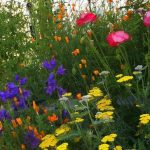 Cottage Garden Plants for American Gardens