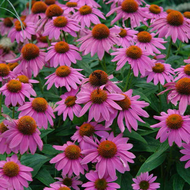 Cottage Garden Plants For American Gardens The Garden Glove - Cottage garden plants