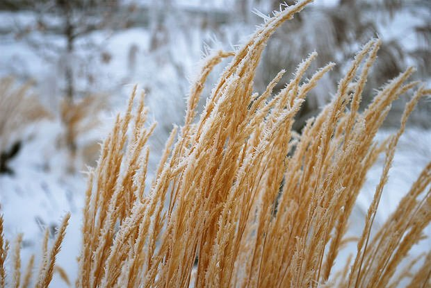 grasses in winter