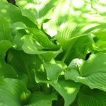 How to Grow (and love!) Hostas