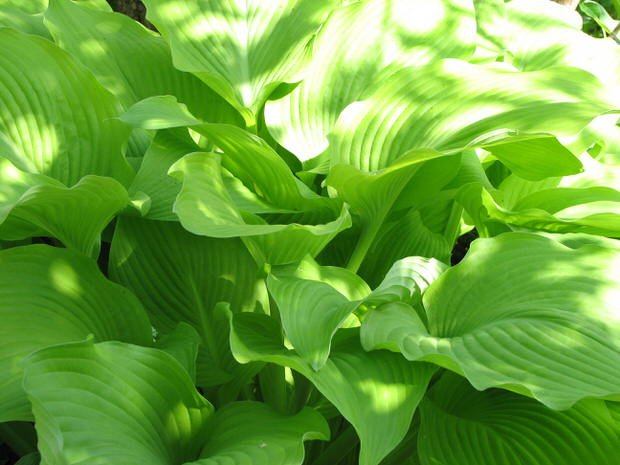How to Grow (and love!) Hostas | The Garden Glove