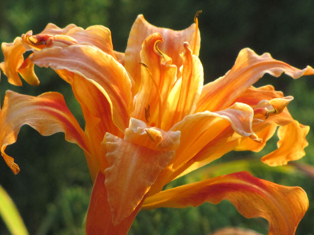 orange day lily flower