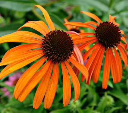 orange echinacea flowers