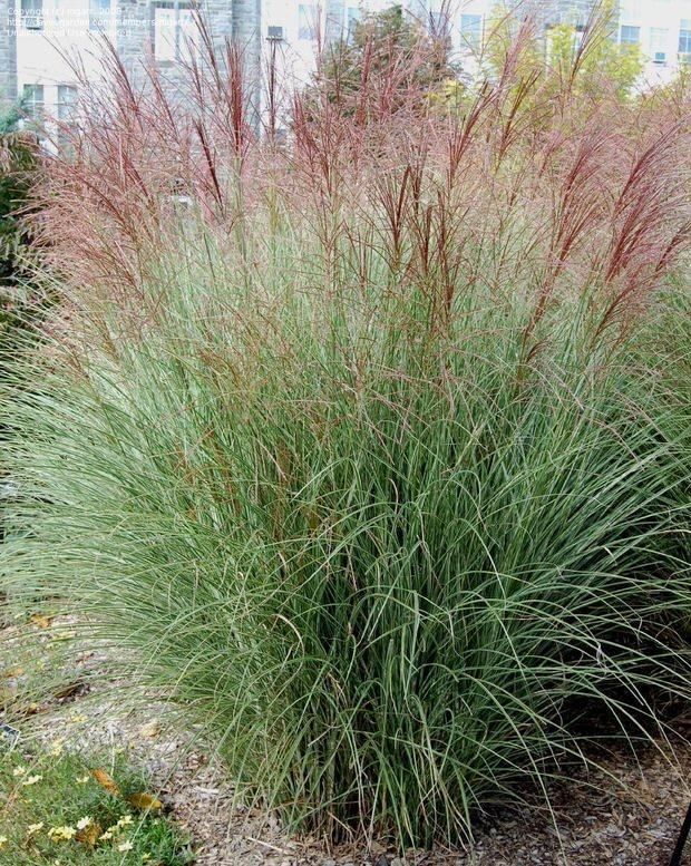 Ornamental grasses update your curb appeal with just one for Very tall ornamental grasses