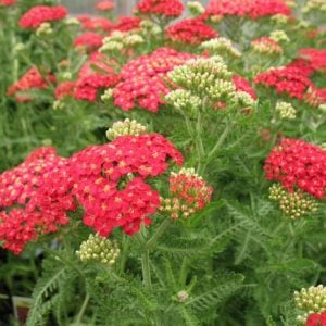 yarrow - easy to grow flowers
