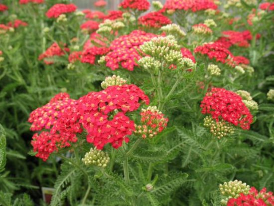 yarrow - easy to grow flowers