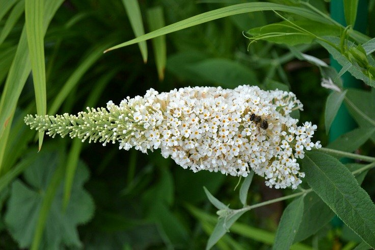 Grow Butterfly Bush Here S Why And How The Garden Glove