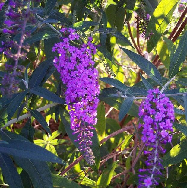 budget garden butterfly bush