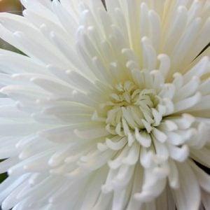 Chrysanthemums mistakes