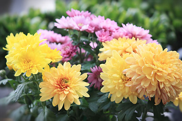 Chrysanthemums mistakes