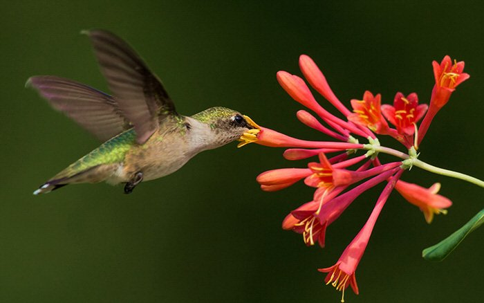 how to make hummingbird nectar without boiling water