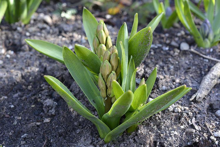 Bulb Crazy   Plan A Spring Bulb Garden Now
