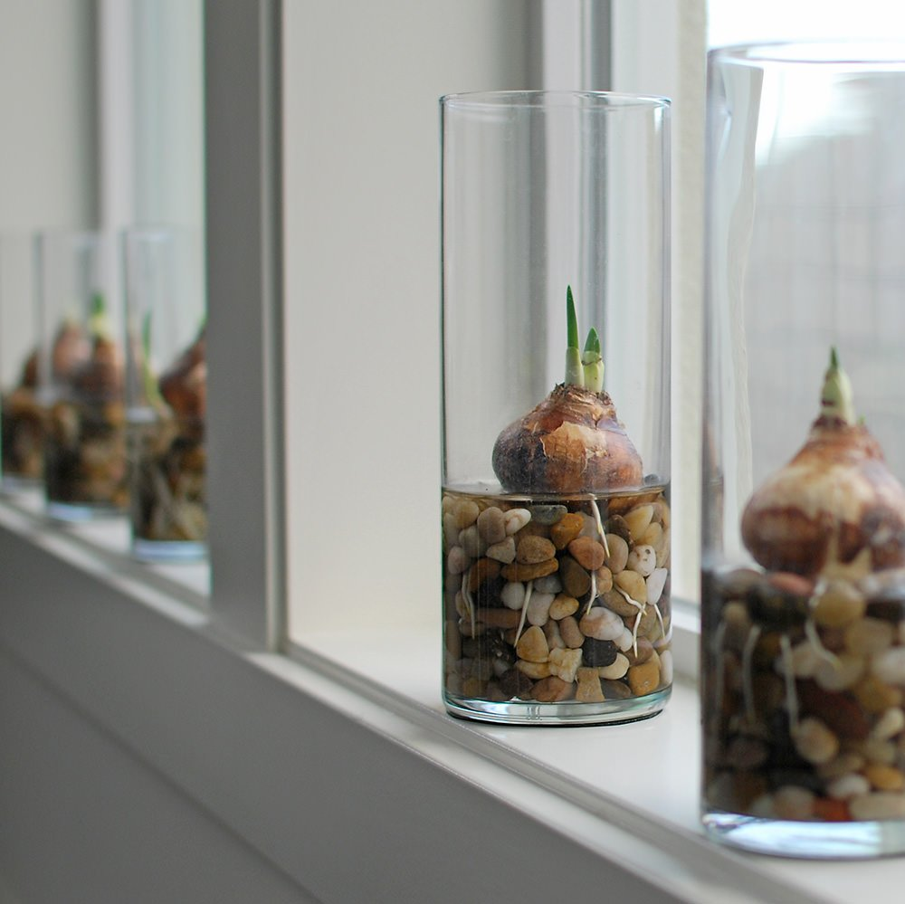 Holiday Garden Gifts - How To Force Bulbs, It's Easy!