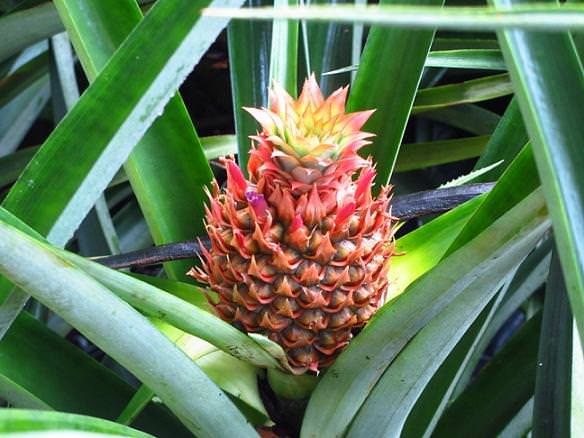 Quick tip pineapple plant the garden glove for How to plant a pineapple top in a pot