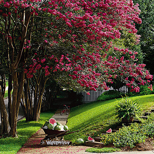 The top trees for small gardens the garden glove for Top 10 trees for small gardens
