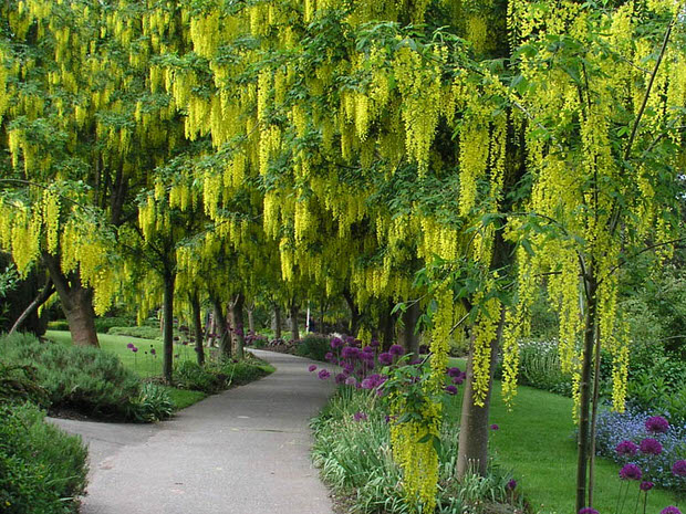 Charming Golden Chain Tree
