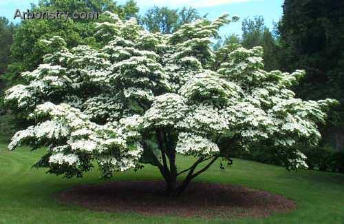 Kousa Dogwood Tree