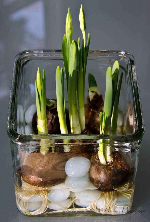 Holiday Garden Gifts How To Force Bulbs It 39 S Easy The