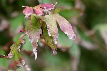 Leaf scorch maple