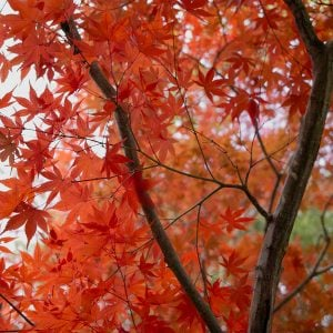 How to Grow Japanese Maples