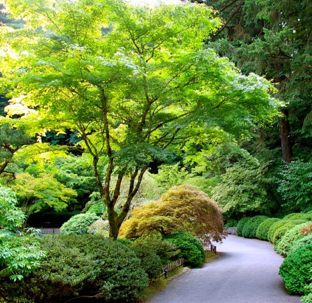 How to grow japanese maples the garden glove for Small trees for japanese garden