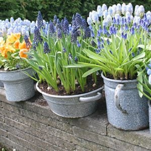 Forcing Spring Bulbs - How To