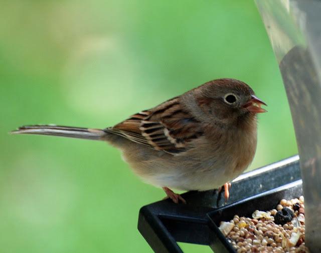 3. field sparrow Andover-kab