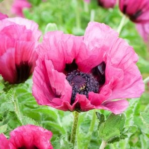 Plum Pudding Poppy