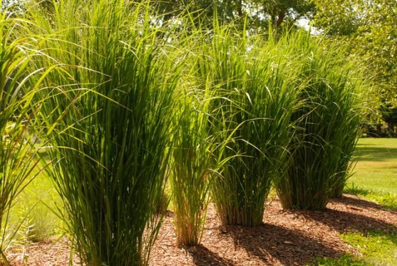 Panicum-virgatum-North-Wind-four