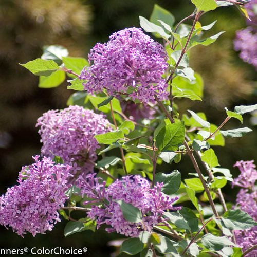 bloomerang_purple_syringa-8801