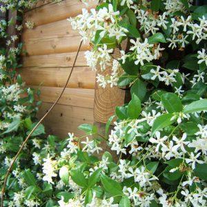 garden vine