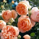5 Roses – 5 Solutions!
