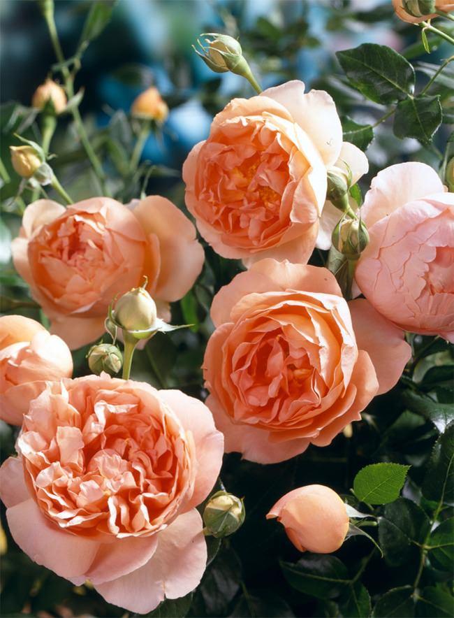 rose_bush_2_650