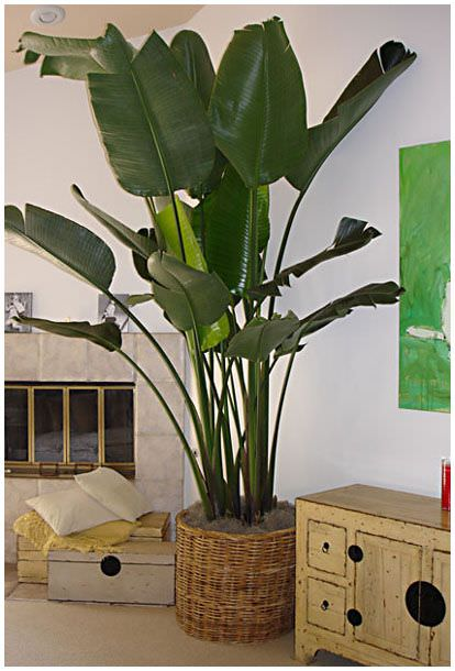 Grow tropical indoor plants the garden glove - Big leaf indoor plants ...