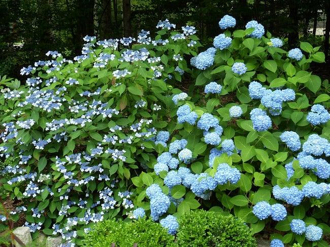 blue-hydrangea-7