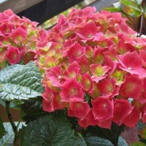 Growing Hydrangeas