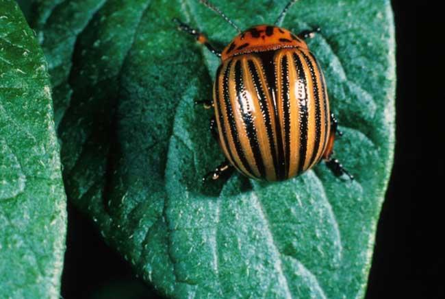 colorado-potato-beetles-1