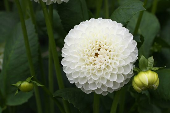 How to Grow Dahlias- White Dahlia