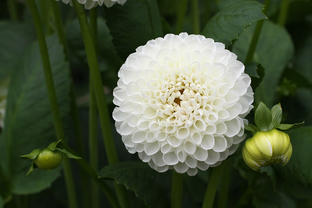 How-to-Grow-Dahlias-27 Vegetable And Herb Garden Design on modern vegetable garden design, flower and vegetable garden design, round vegetable garden design, attractive vegetable garden design, backyard idea tropical garden design, vegetable garden design plans, house vegetable garden design, vegetable gardening in the philippines, fruit and vegetable garden design, raised vegetable garden design, japanese garden pond design, vegetable garden companion plants, vegetable plants grow indoors, potager vegetable garden design, vegetable and fruit carving watermelon, vegetable container garden designs, vegetable and herb planting guide, vegetable and flower garden combination, vegetable and gardening, vegetable garden layout,