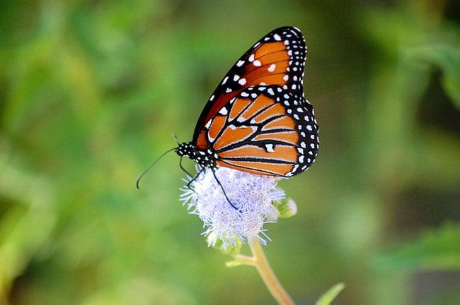 butterflies-45