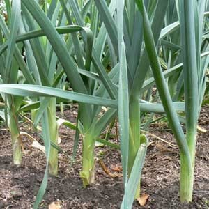 Garlic growing in ground