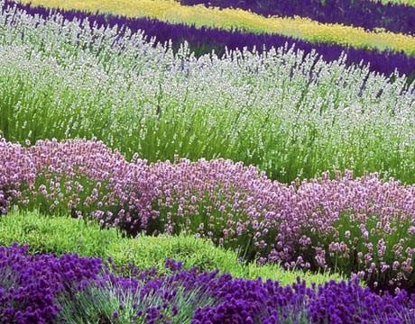 lavender-rows-0908-de-56493787