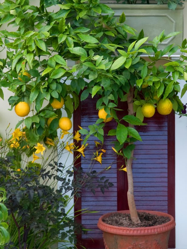 Best unexpected plants you can grow in containers the for Growing a lemon tree in a pot from seed